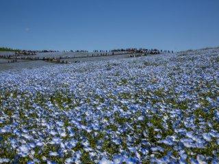 Nemophila Hoa mắt biếc là loài hoa đặc trưng của Hitachi Seaside Park mỗi độ xuân về. Hãy đến đây và đắm mình vào biển hoa xanh biếc trải dài đến vô cùng