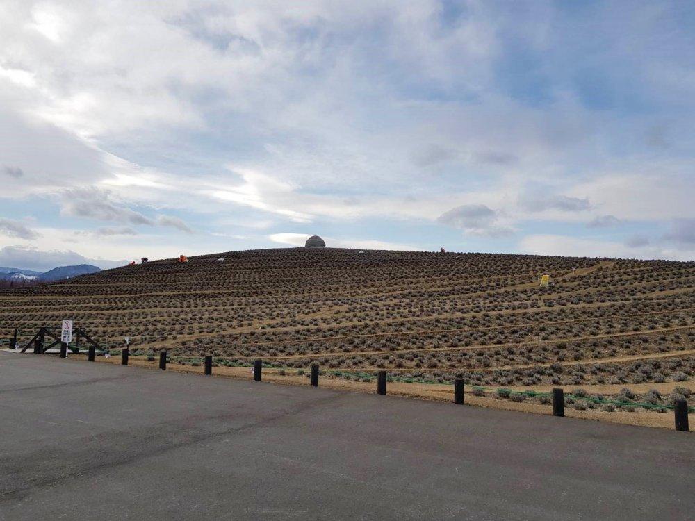 ลาเวนเดอร์ถึง 150,000 ต้น รายล้อมภูเขาด้านนอก