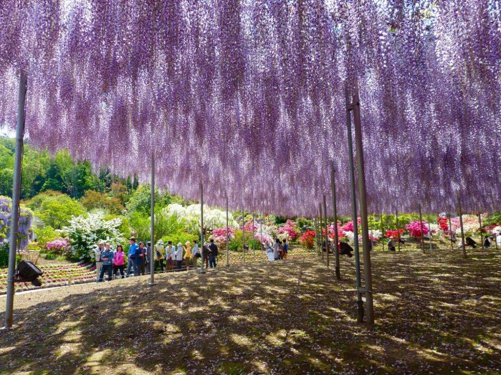 Oh-nagafuji wisteria