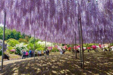 Mei di Taman Bunga Ashikaga - Bag.1