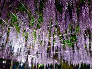Oh-nagafuji wisteria at night