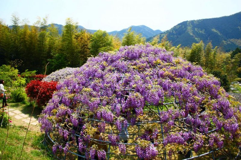 There's more than just tunnels here - you can also step inside a wisteria dome!