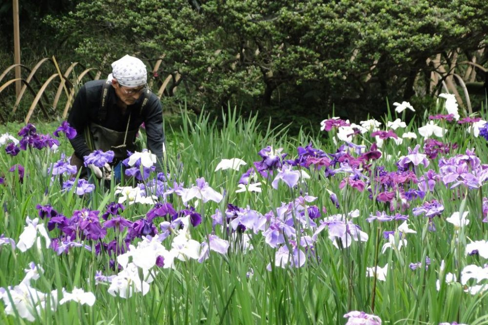 A gardener amongst the irises