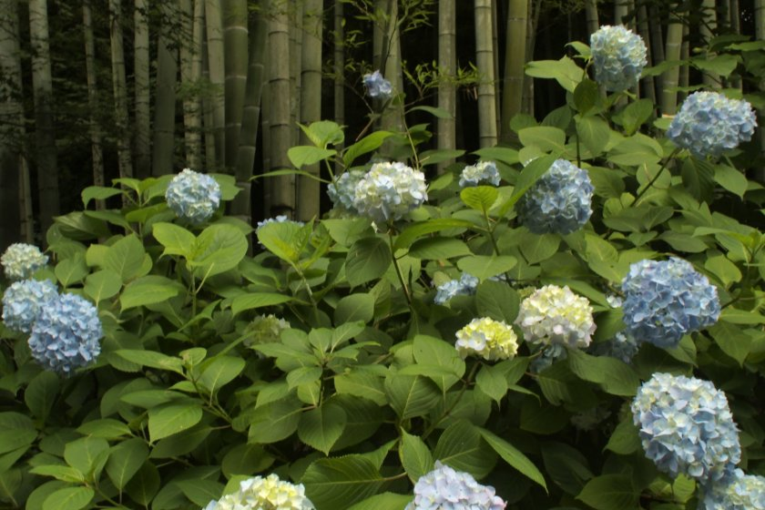Bamboo and hydrangeas