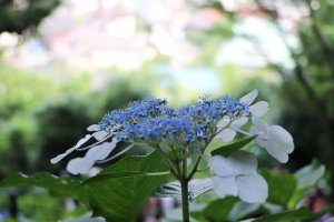 Hydrangea is one of the symbols of Kamakura.
