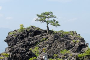 Small tree on magma rock