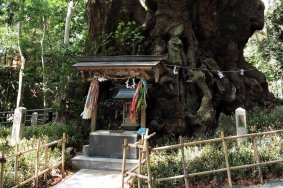 Kinomiya Shrine's Ancient Tree