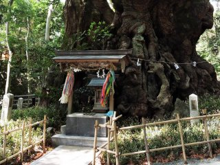 This is what a 2,000 year old camphor tree looks like