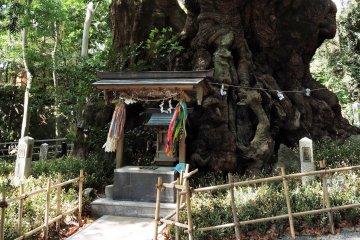 Kinomiya Shrine's Ancient Tree