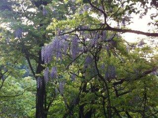 The Fuji tree (Japanese wisteria) in full bloom
