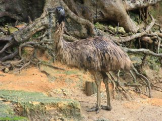 An emu likewise blends into its habitat at the Okinawa Zoo
