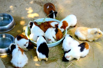 Кучка гвинейских свиней
