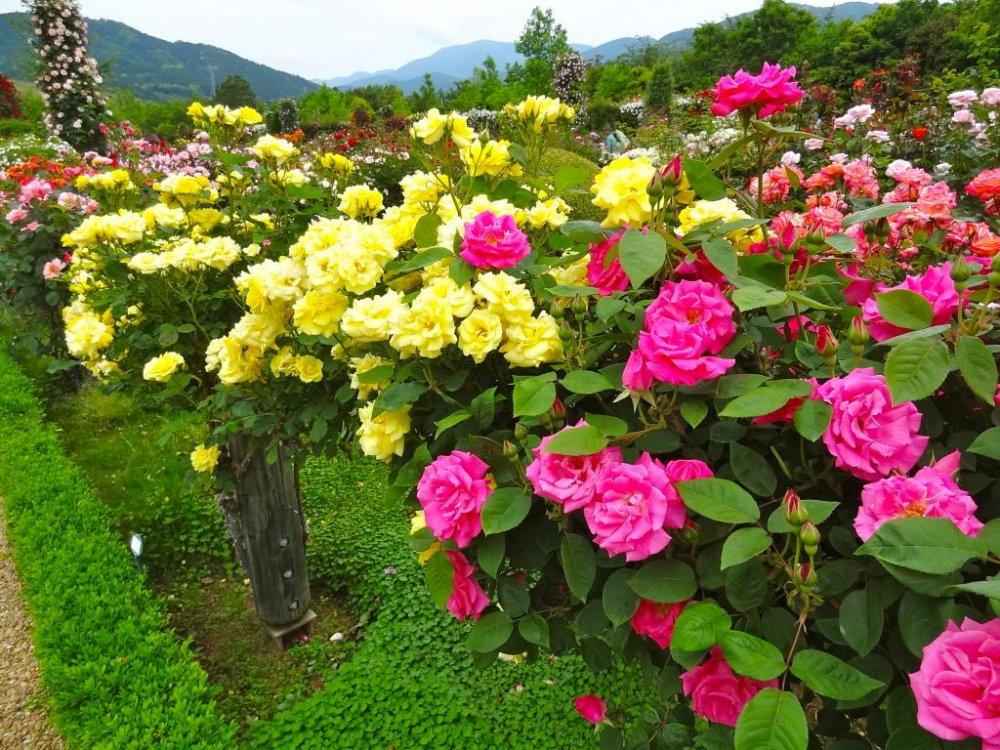 Jardin de bagatelle kawazu for Bagatelle jardin
