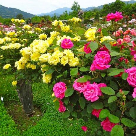 สวนกุหลาบ Jardin de Bagatelle ที่ Kawazu