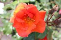 Hoa hồng nở rộ - công viên Verny