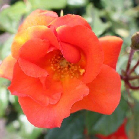 Roses in Bloom - Verny Park