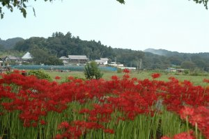 Spider lilies with kinchakuda and part of Mt. Hiwada in the background.