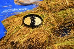 Le riz nouveau à Niigata