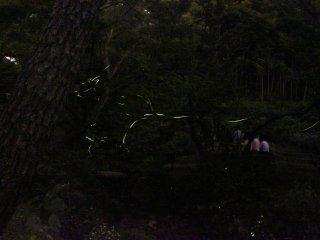 Ngắm đom đó là một trong những điều tuyệt vời nhất của mùa hè Nhật Bản.