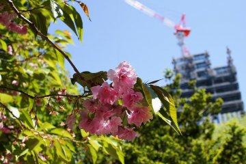 The last of the sakura blossoms