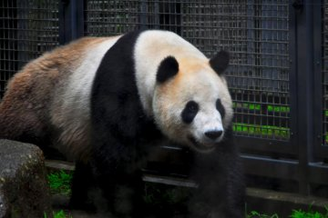 Pandas are most people's favourites. This one seemed a bit disinterested, maybe it was the rain.