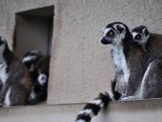 Ring-tailed lemurs sitting out of the rain.