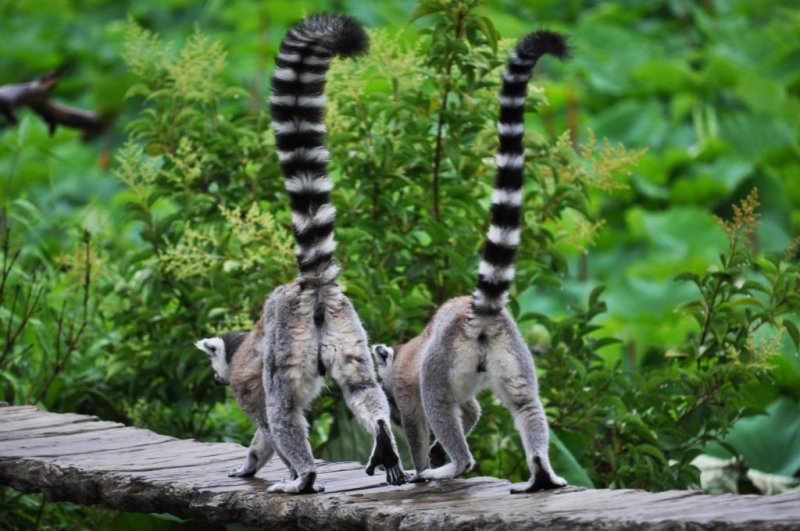 The ring-tailed lemurs were my absolute favourite.