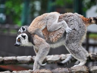 Two of the lemurs had babies they were carrying around on their backs.