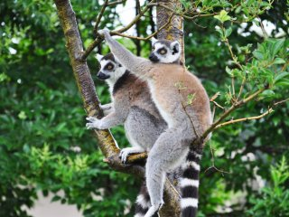 There was a strong sense of community. The lemurs always moved around as a group.