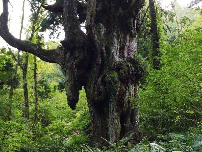 神秘的乳房杉雪松樹