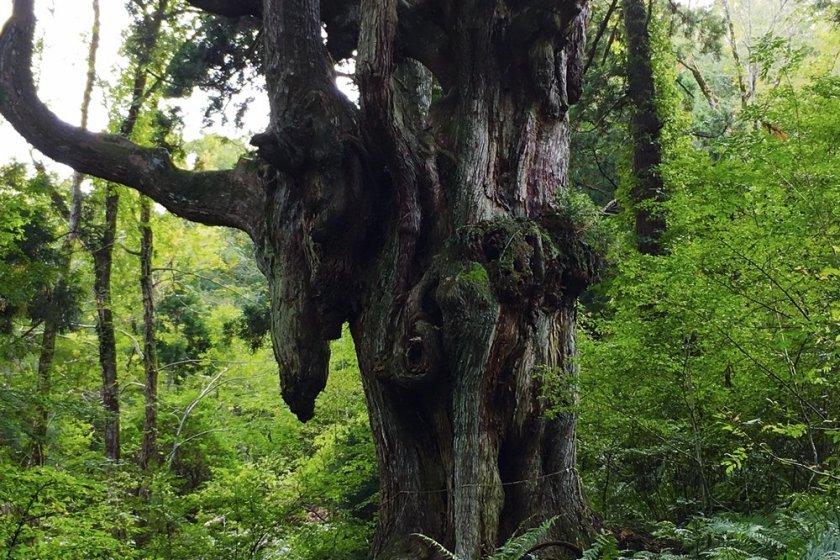 The mysterious Chichi-sugi cedar tree