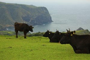 Cows hanging out on Matengai Cliff on the Kuniga Coast Trail