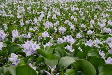Hyacinth field at the end of season in October
