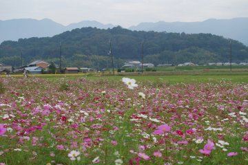 October is cosmos season at the Fujiwara site