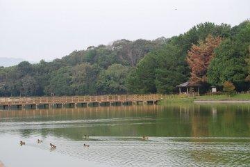 Ducks enjoy their play on Fukuda Pond