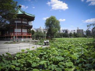 Le célèbre champ de lotus et le temple Benten-dô