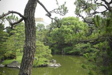 일본 소나무
