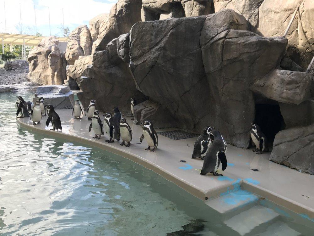 Thủy cung tổ chức chương trình cho chim cánh cụt ăn mỗi ngày