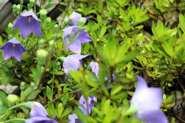 The garden is filled with sweet purple flowers.