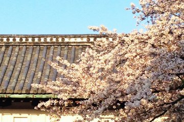 <p>Sakura at Saga Castle (April 2014)</p>