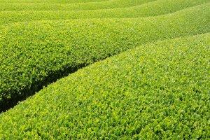 Flushing tea fields