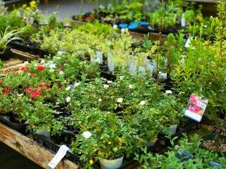 Pode comprar algumas das plantas que encontra no jardim na loja de horticultura