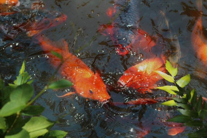 Gorgeous koi (carp) swim in the pond.