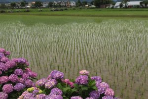 The surrounding mountains and rice fields make for a visual treat