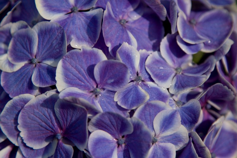 두색깔을 띈 사랑스러운 수국의 클로즈업 사진