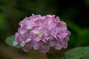 Hortênsia cor-de-rosa