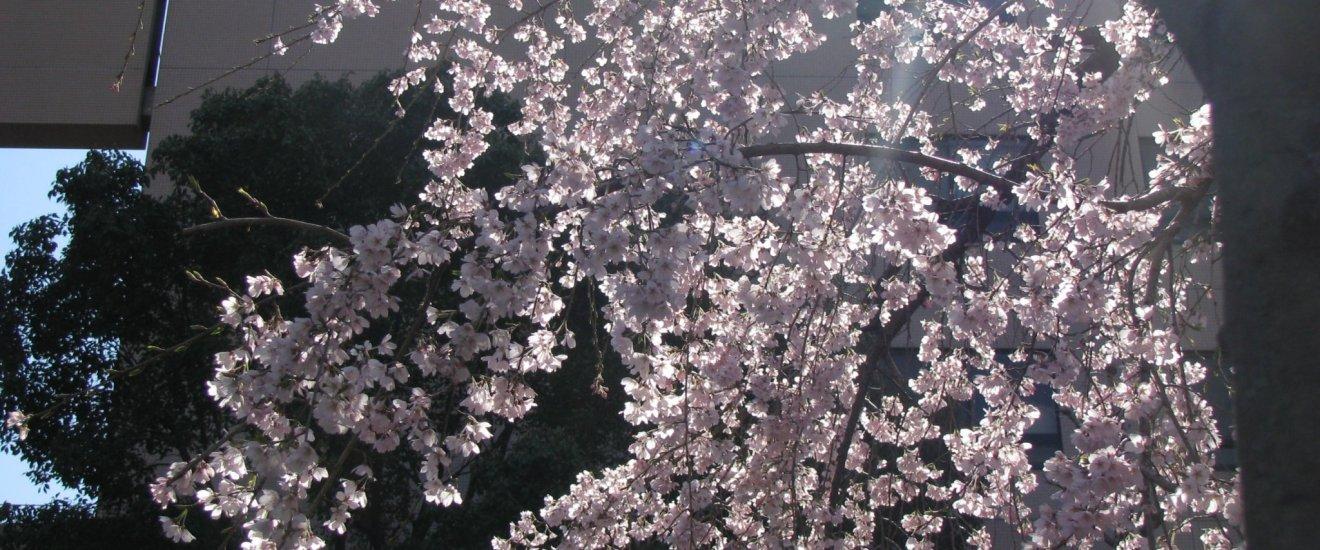 Сакура в солнечном свете