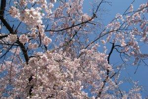Цветущая сакура в начале апреля