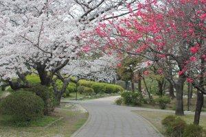 Hoa anh đào ở công viên Suijyou