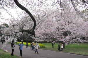 Сакура в парке Коганэй